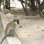 Green Vervet Monkey image 150x150 St. Kitts Has A Lot To Offer