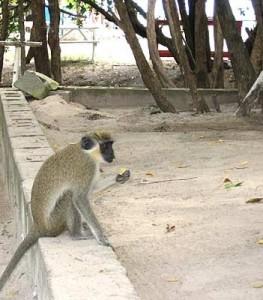 Green Vervet Monkey image 263x300 Diving St. Kitts