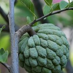 sugar apple 150x150 St. Kitts Fruits You Might Not Be Familiar With